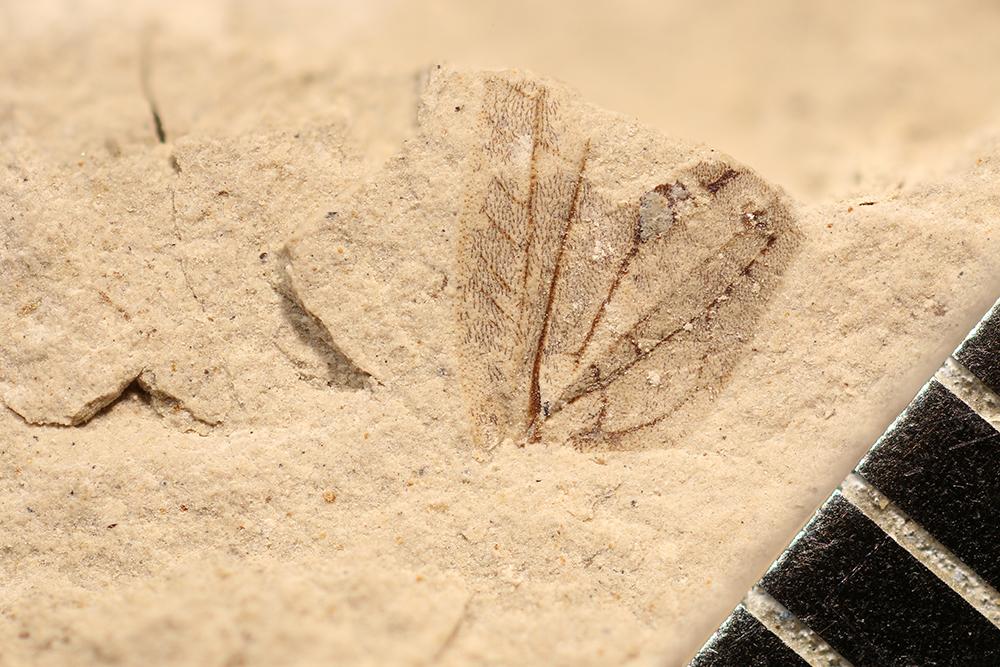 http://mczbase.mcz.harvard.edu/specimen_images/entomology/paleo/large/PALE-10067b_Lemmatophora_typa.jpg