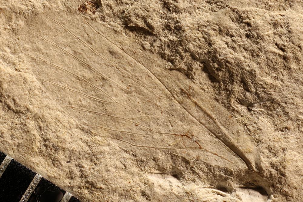 http://mczbase.mcz.harvard.edu/specimen_images/entomology/paleo/large/PALE-10079_Lemmatophora_typa.jpg