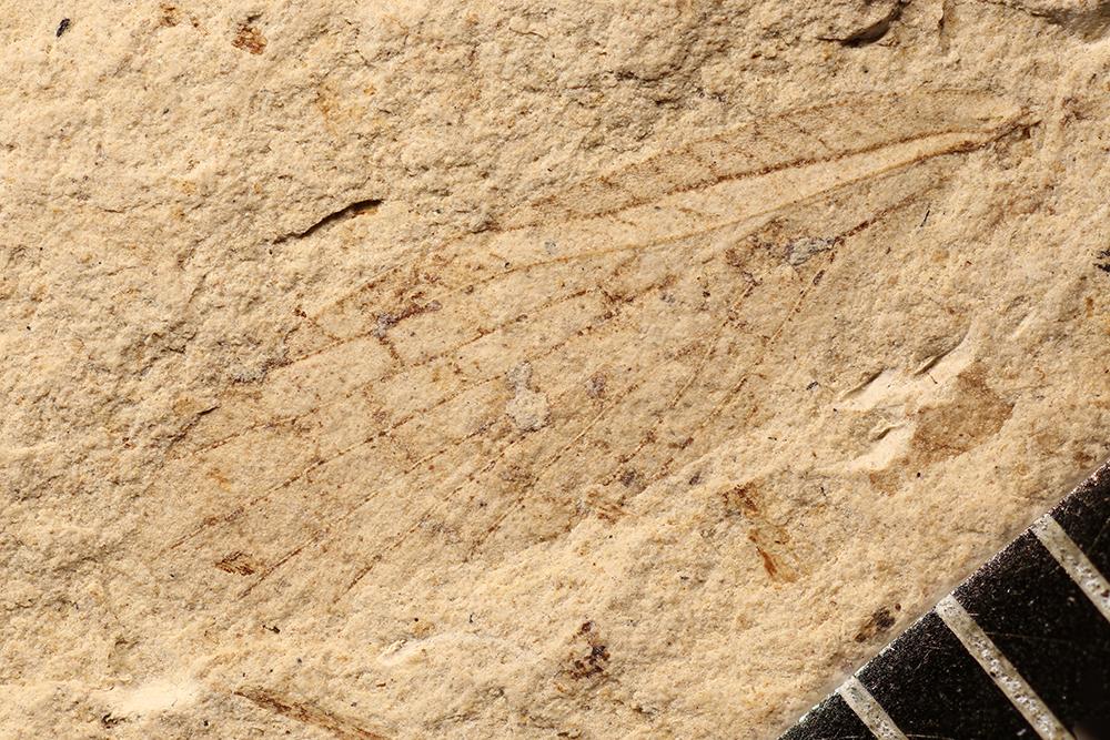 http://mczbase.mcz.harvard.edu/specimen_images/entomology/paleo/large/PALE-10095_Lemmatophora_typa.jpg