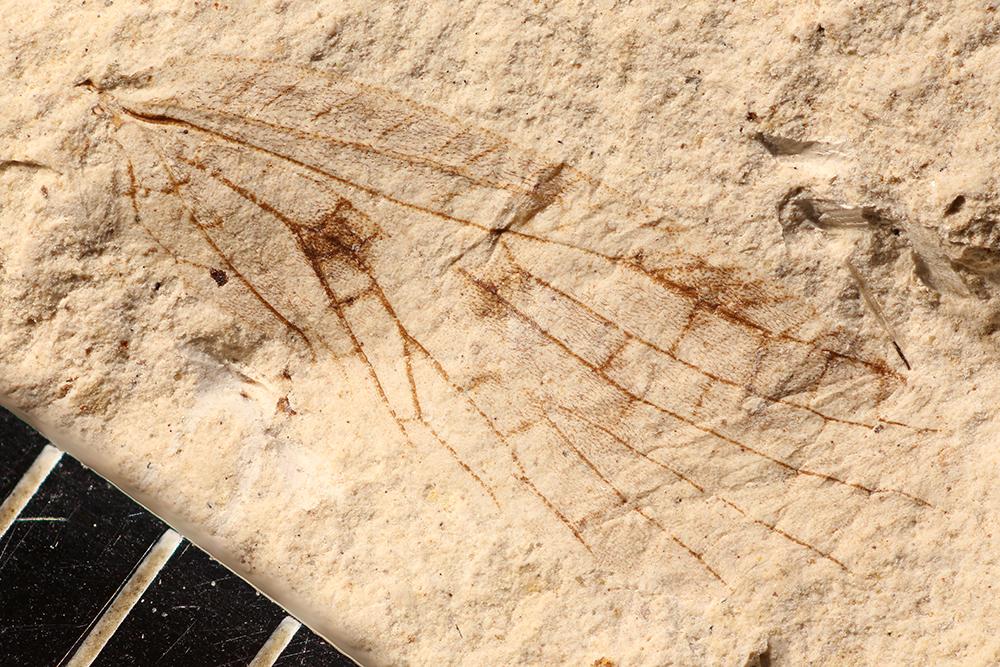 http://mczbase.mcz.harvard.edu/specimen_images/entomology/paleo/large/PALE-10098_Lemmatophora_typa.jpg