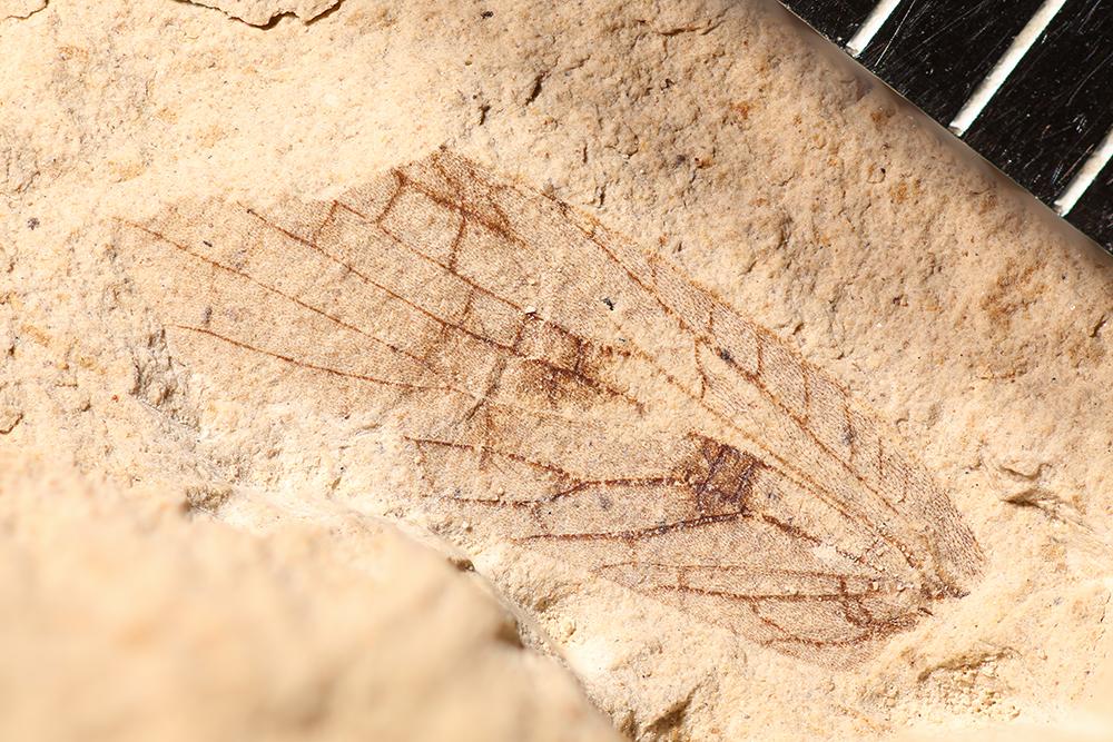http://mczbase.mcz.harvard.edu/specimen_images/entomology/paleo/large/PALE-10108a_Lemmatophora_typa.jpg