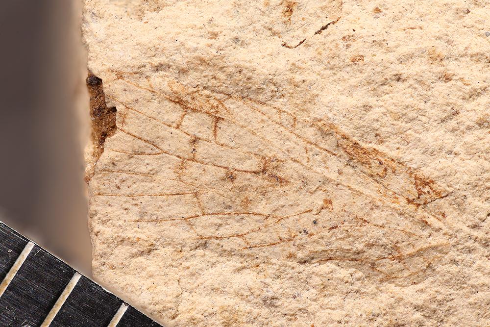 http://mczbase.mcz.harvard.edu/specimen_images/entomology/paleo/large/PALE-10111_Lemmatophora_typa.jpg