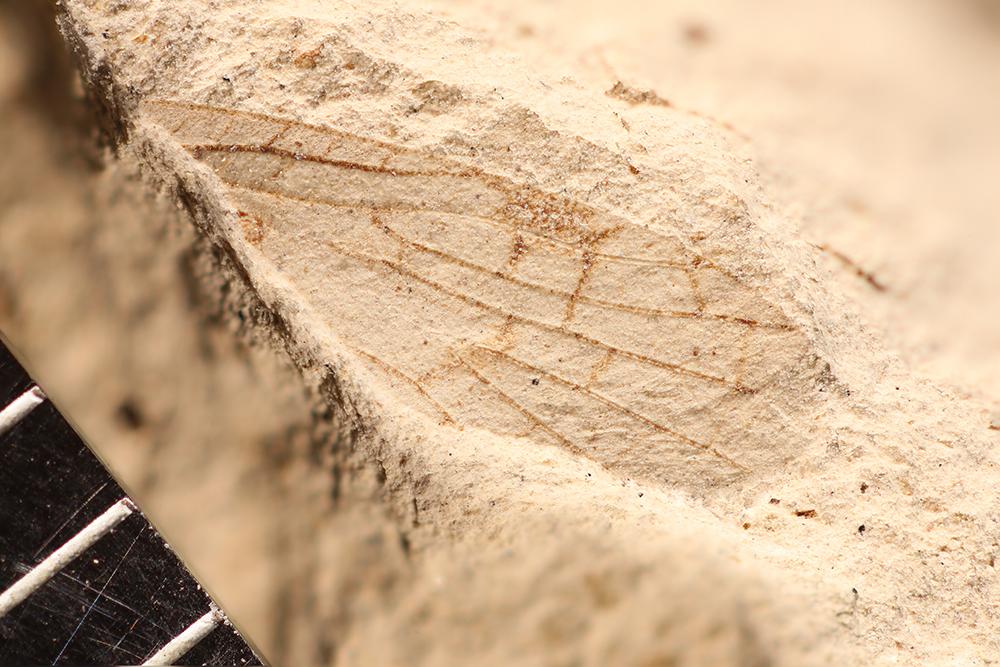 http://mczbase.mcz.harvard.edu/specimen_images/entomology/paleo/large/PALE-10115a_Lemmatophora_typa.jpg