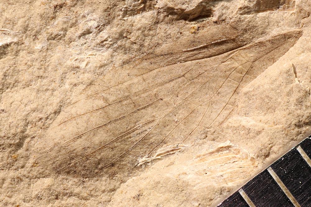 http://mczbase.mcz.harvard.edu/specimen_images/entomology/paleo/large/PALE-10121_Lemmatophora_typa.jpg