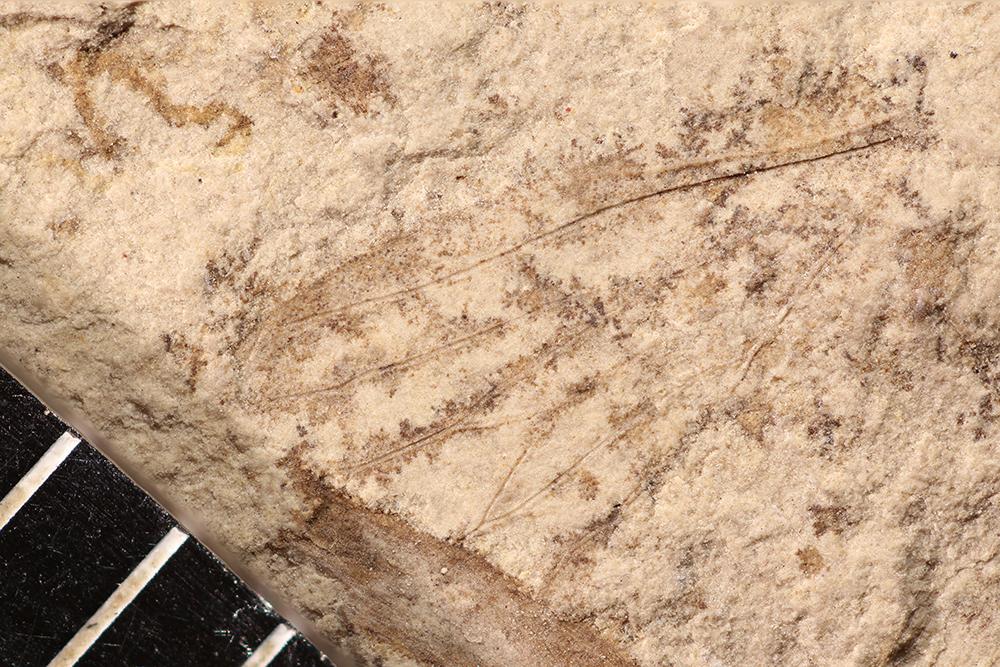http://mczbase.mcz.harvard.edu/specimen_images/entomology/paleo/large/PALE-10122_Lemmatophora_typa.jpg