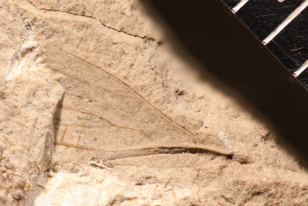 http://mczbase.mcz.harvard.edu/specimen_images/entomology/paleo/large/PALE-10146_Lemmatophora_typa.jpg