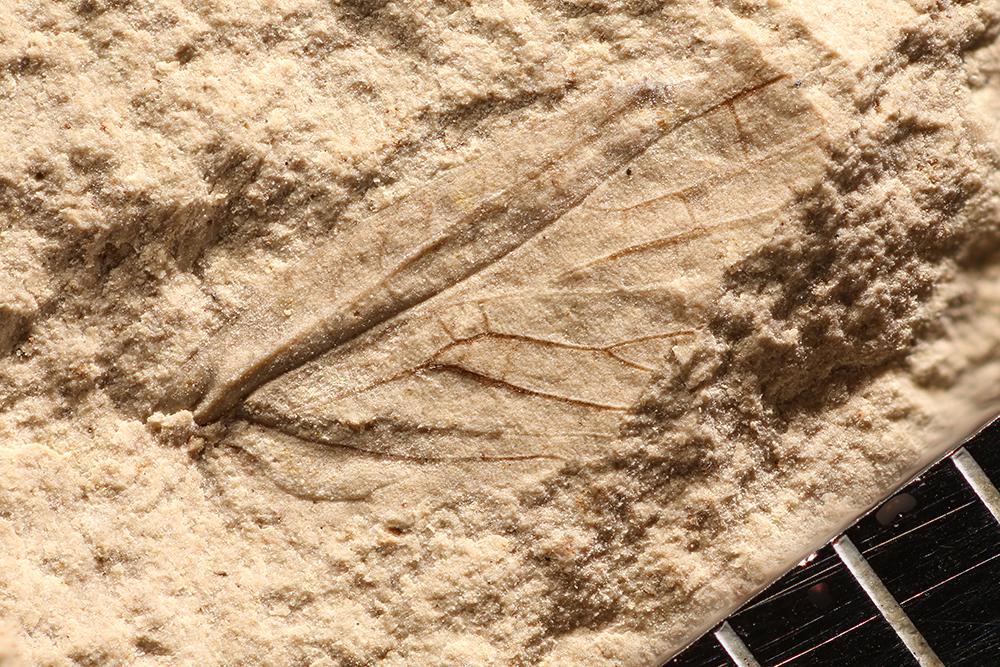 http://mczbase.mcz.harvard.edu/specimen_images/entomology/paleo/large/PALE-10147_Lemmatophora_typa.jpg