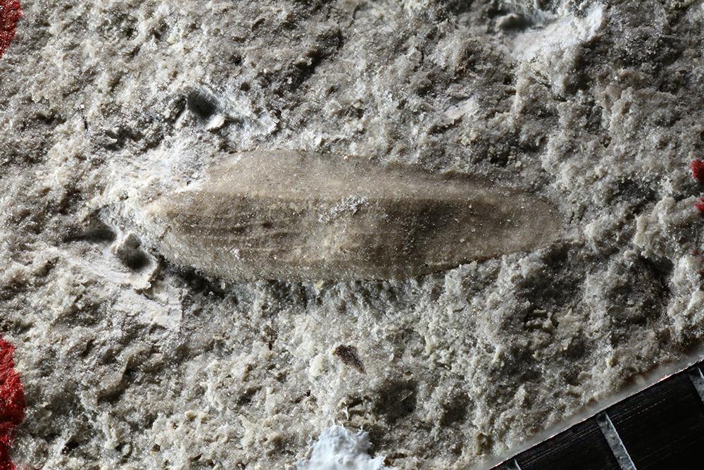 http://mczbase.mcz.harvard.edu/specimen_images/entomology/paleo/large/PALE-10766_Protelytroptera.jpg