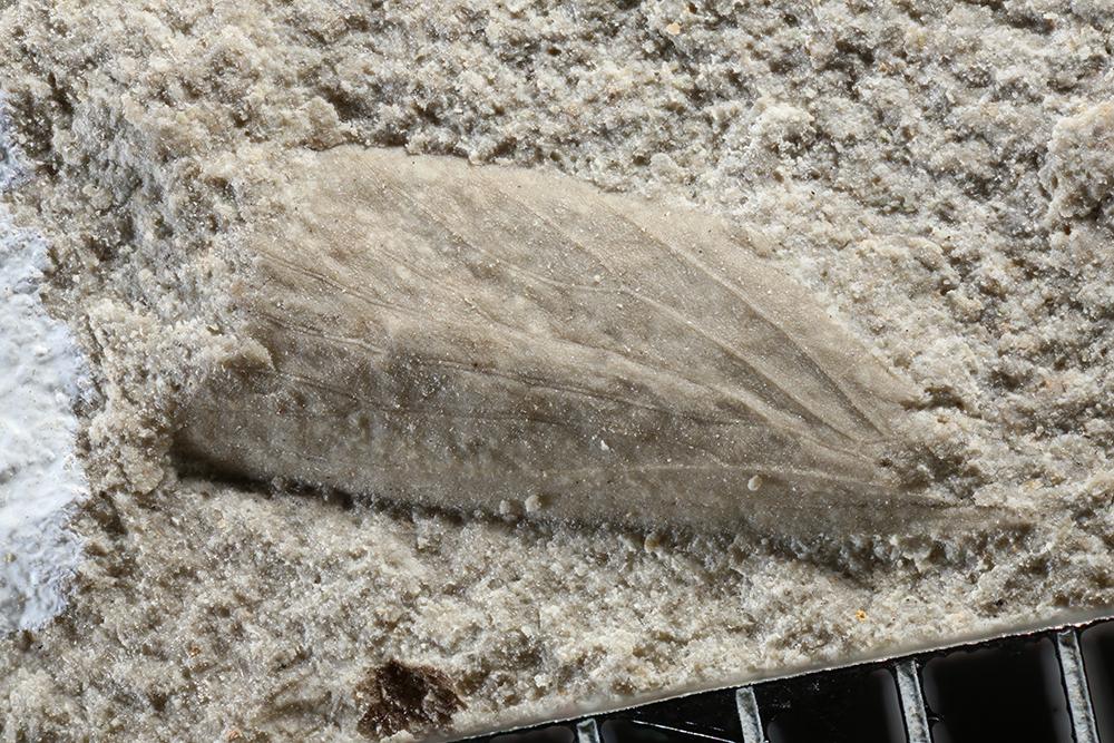 http://mczbase.mcz.harvard.edu/specimen_images/entomology/paleo/large/PALE-10767b_Grylloblattodea_qm.jpg