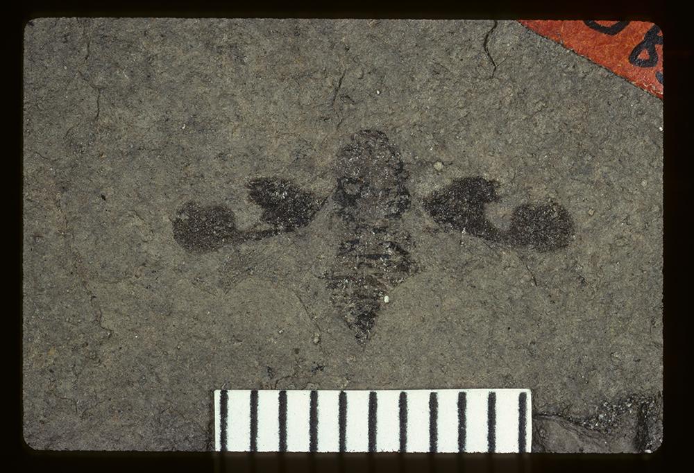 Media of type image, MCZ:Ent:PALE-1083 Identified as Prinecphora balteata type status Type of Prinecphora balteata. . Aspect: full