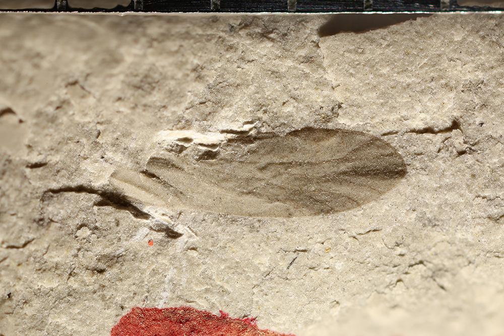 http://mczbase.mcz.harvard.edu/specimen_images/entomology/paleo/large/PALE-10862_Psocoptera.jpg
