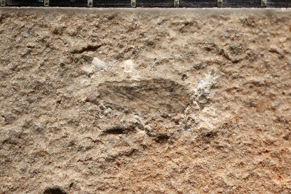 http://mczbase.mcz.harvard.edu/specimen_images/entomology/paleo/large/PALE-10870_Psocoptera.jpg