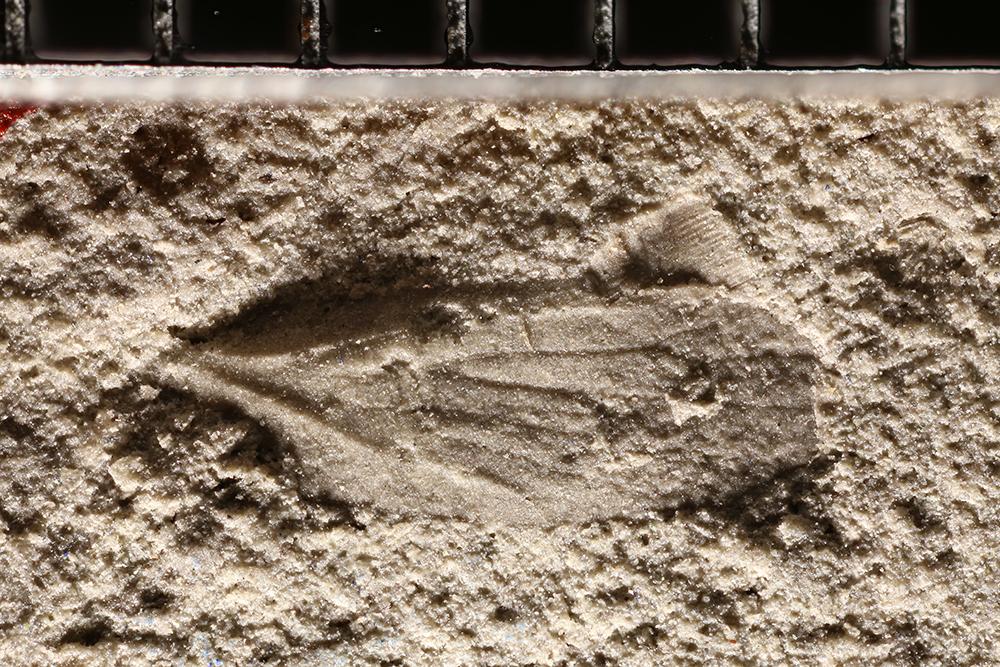 http://mczbase.mcz.harvard.edu/specimen_images/entomology/paleo/large/PALE-10874_Miomoptera.jpg