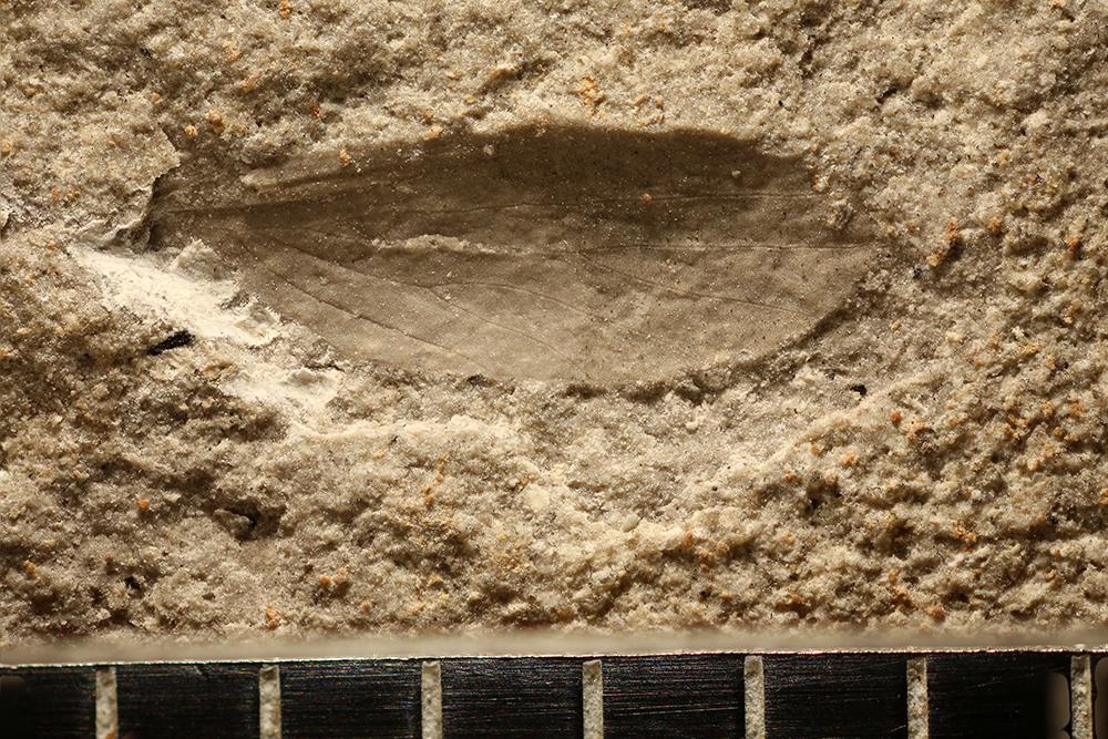 http://mczbase.mcz.harvard.edu/specimen_images/entomology/paleo/large/PALE-11166_Lemmatophoridae_1.jpg