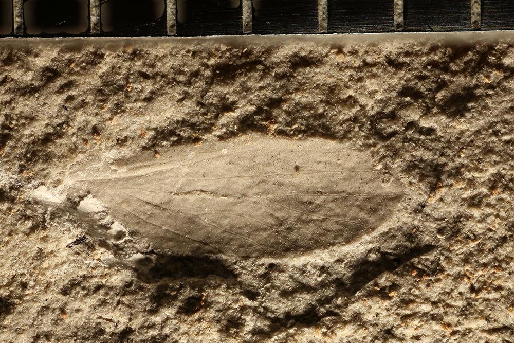 http://mczbase.mcz.harvard.edu/specimen_images/entomology/paleo/large/PALE-11166_Lemmatophoridae_2.jpg