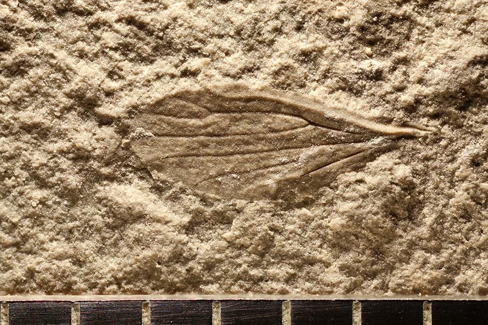 http://mczbase.mcz.harvard.edu/specimen_images/entomology/paleo/large/PALE-11183_Miomoptera.jpg
