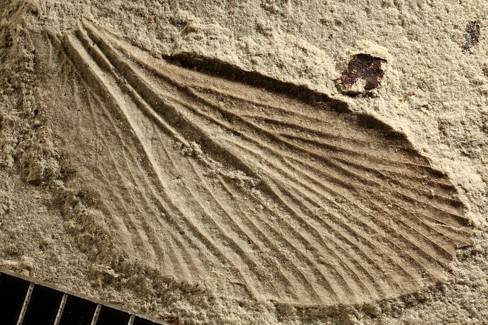 http://mczbase.mcz.harvard.edu/specimen_images/entomology/paleo/large/PALE-11408_Blattaria_qm.jpg