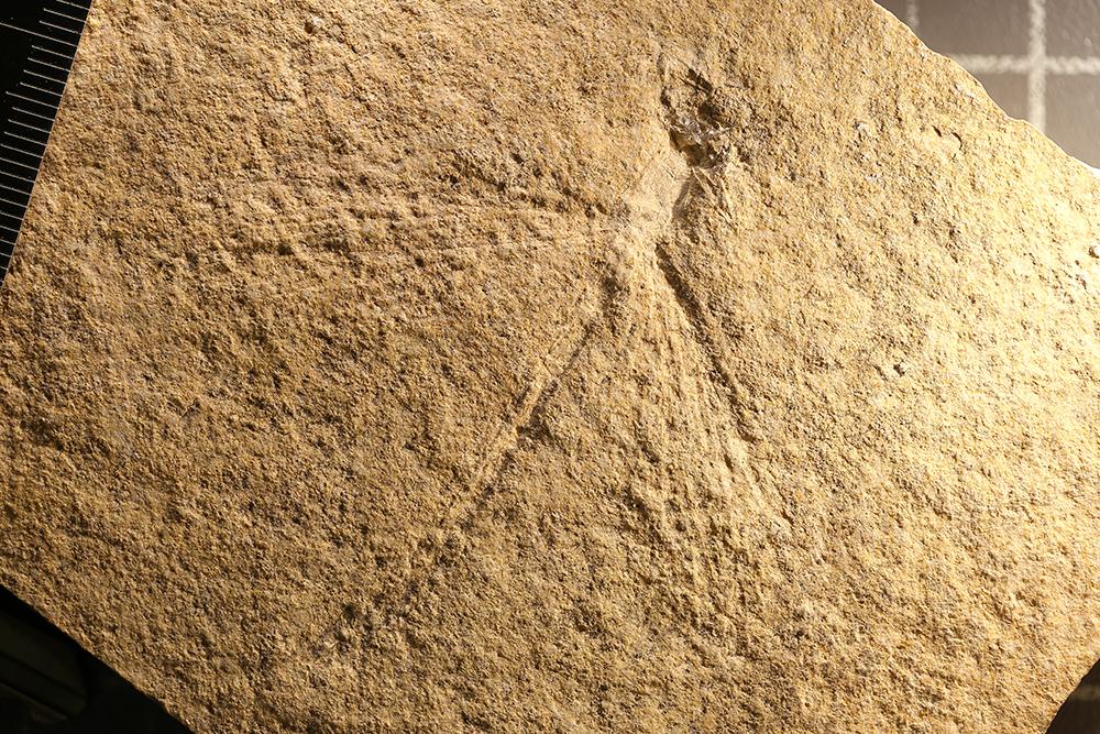 http://mczbase.mcz.harvard.edu/specimen_images/entomology/paleo/large/PALE-11480_Tarsophlebia_exima.jpg