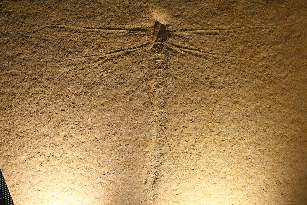 http://mczbase.mcz.harvard.edu/specimen_images/entomology/paleo/large/PALE-11519_Cymatophlebia_longialata_qm.jpg
