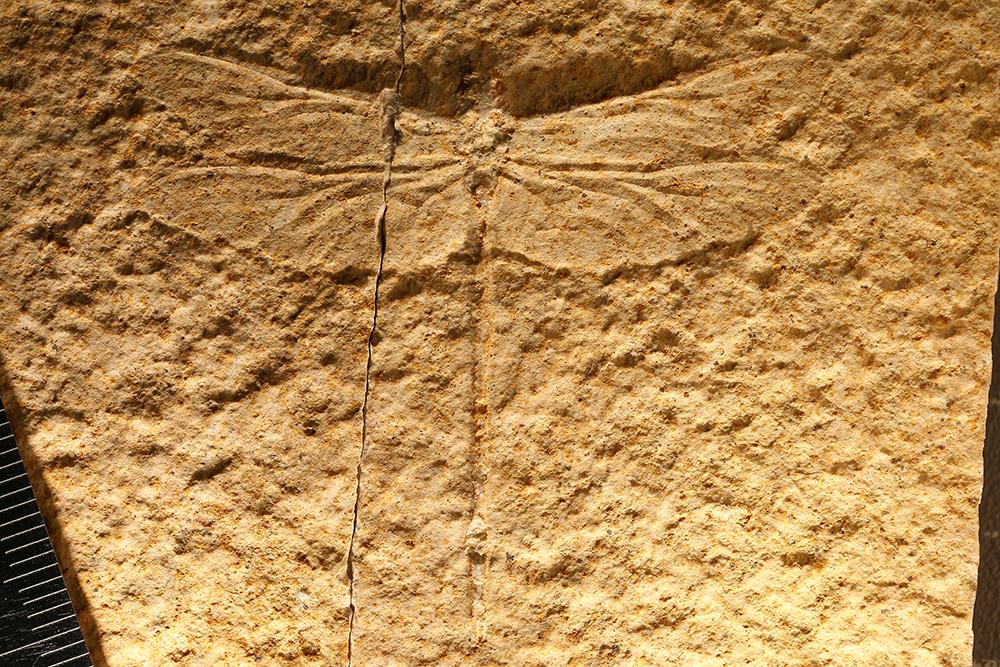 http://mczbase.mcz.harvard.edu/specimen_images/entomology/paleo/large/PALE-11525_Aeschnopsis_sp.jpg