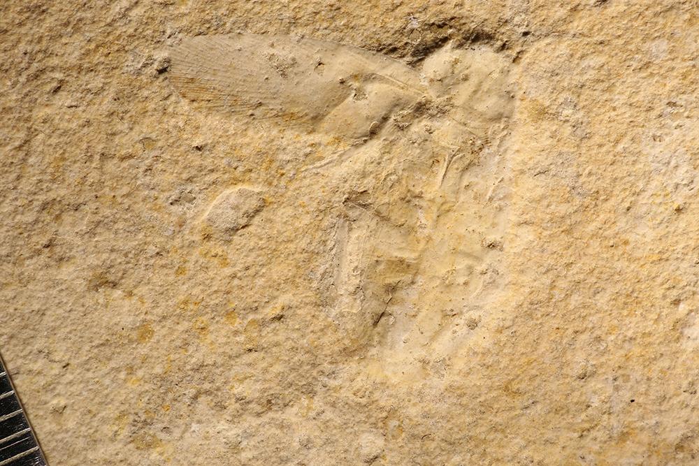 http://mczbase.mcz.harvard.edu/specimen_images/entomology/paleo/large/PALE-11541_Lithoblatta_lithophila.jpg