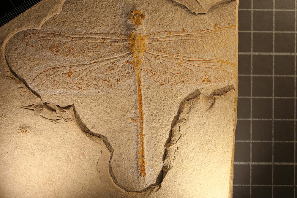 http://mczbase.mcz.harvard.edu/specimen_images/entomology/paleo/large/PALE-11546_Protolindenia_sp.jpg