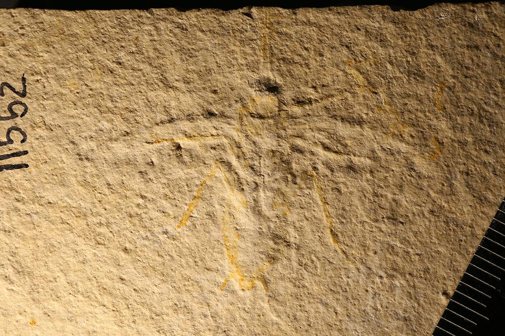 http://mczbase.mcz.harvard.edu/specimen_images/entomology/paleo/large/PALE-11552_Lithoblatta_lithophila.jpg