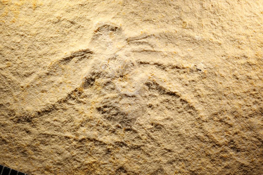 http://mczbase.mcz.harvard.edu/specimen_images/entomology/paleo/large/PALE-11557_Lithoblatta_lithophila.jpg