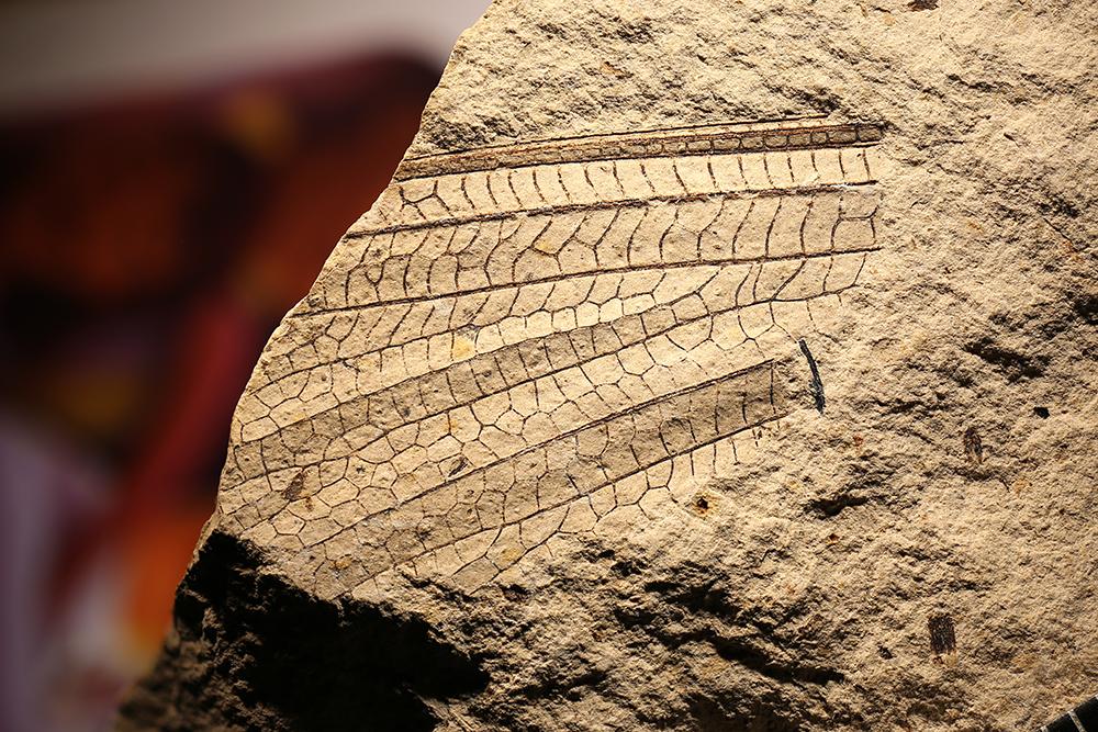 http://mczbase.mcz.harvard.edu/specimen_images/entomology/paleo/large/PALE-11960a_Meganisoptera.jpg