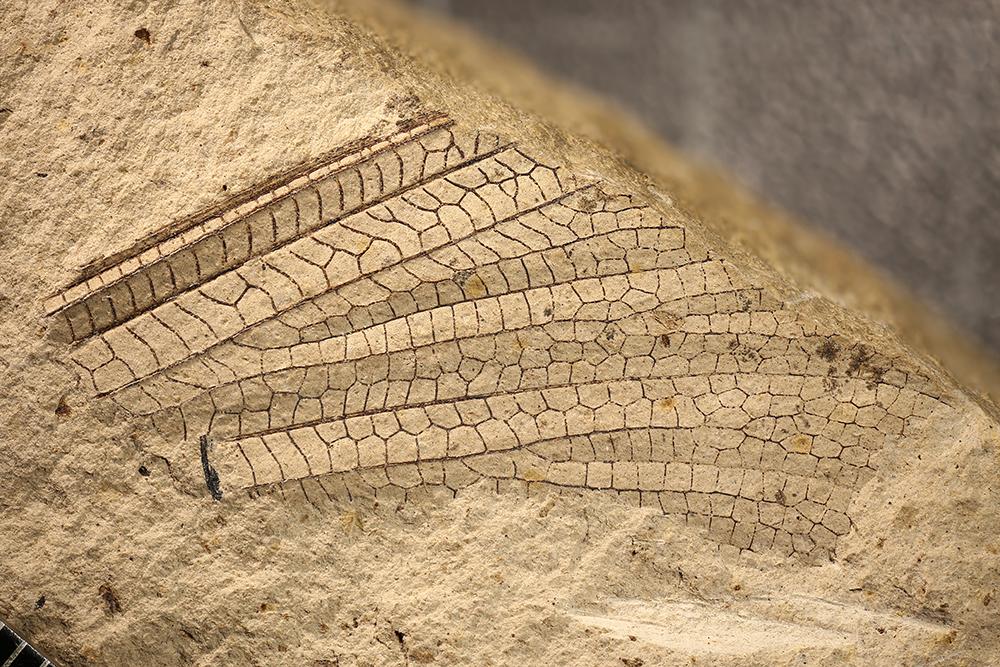 http://mczbase.mcz.harvard.edu/specimen_images/entomology/paleo/large/PALE-11960b_Meganisoptera.jpg