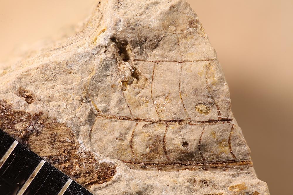 http://mczbase.mcz.harvard.edu/specimen_images/entomology/paleo/large/PALE-11964_Meganisoptera.jpg