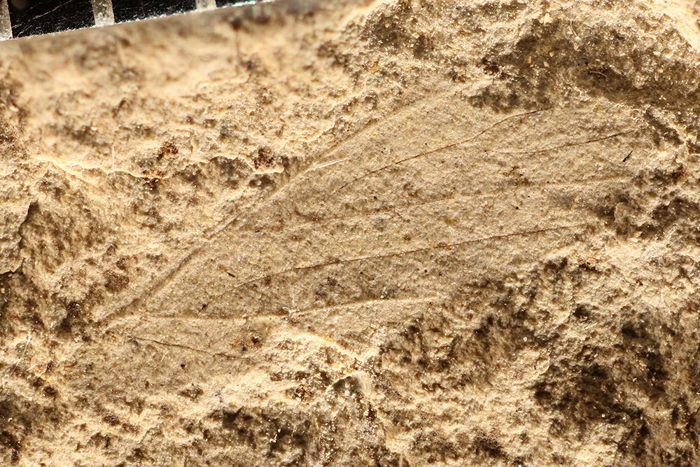 http://mczbase.mcz.harvard.edu/specimen_images/entomology/paleo/large/PALE-11969_Asthenohymenidae.jpg