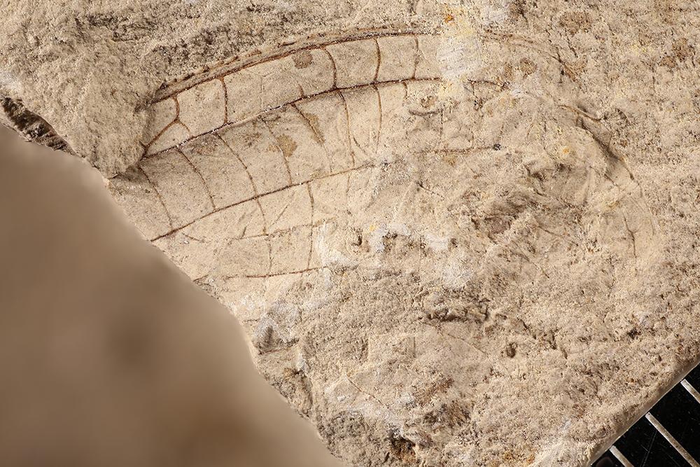 http://mczbase.mcz.harvard.edu/specimen_images/entomology/paleo/large/PALE-12001_Meganisoptera.jpg