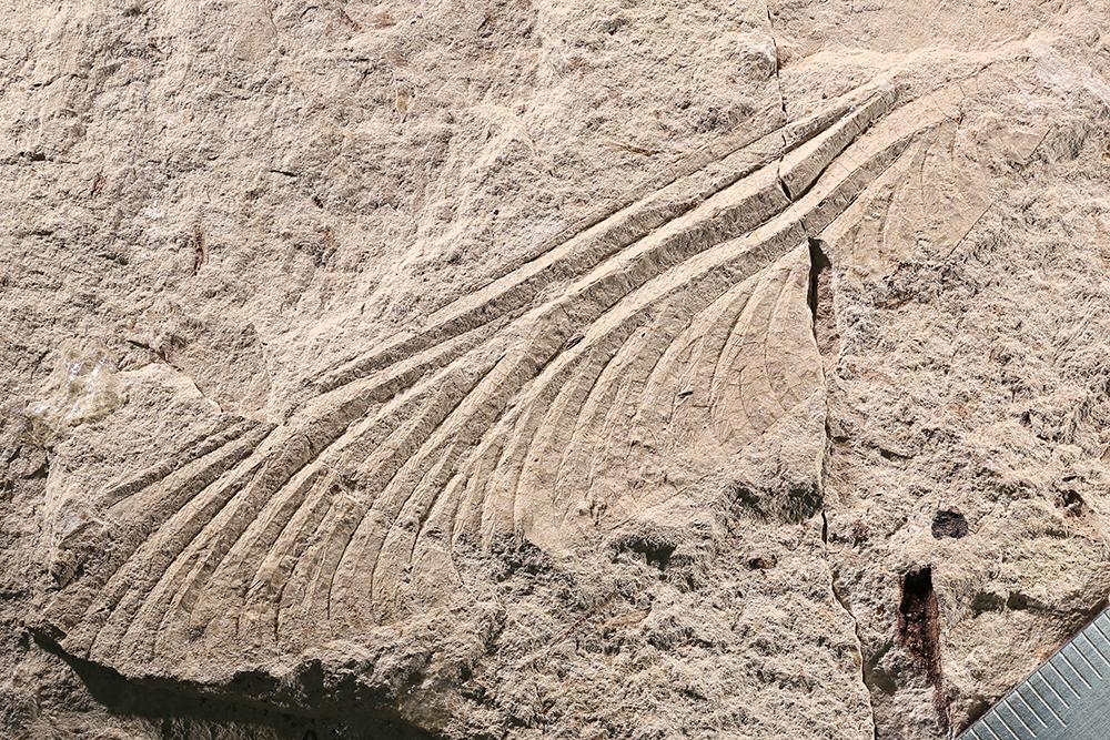 http://mczbase.mcz.harvard.edu/specimen_images/entomology/paleo/large/PALE-12005b_Typus_permianus.jpg