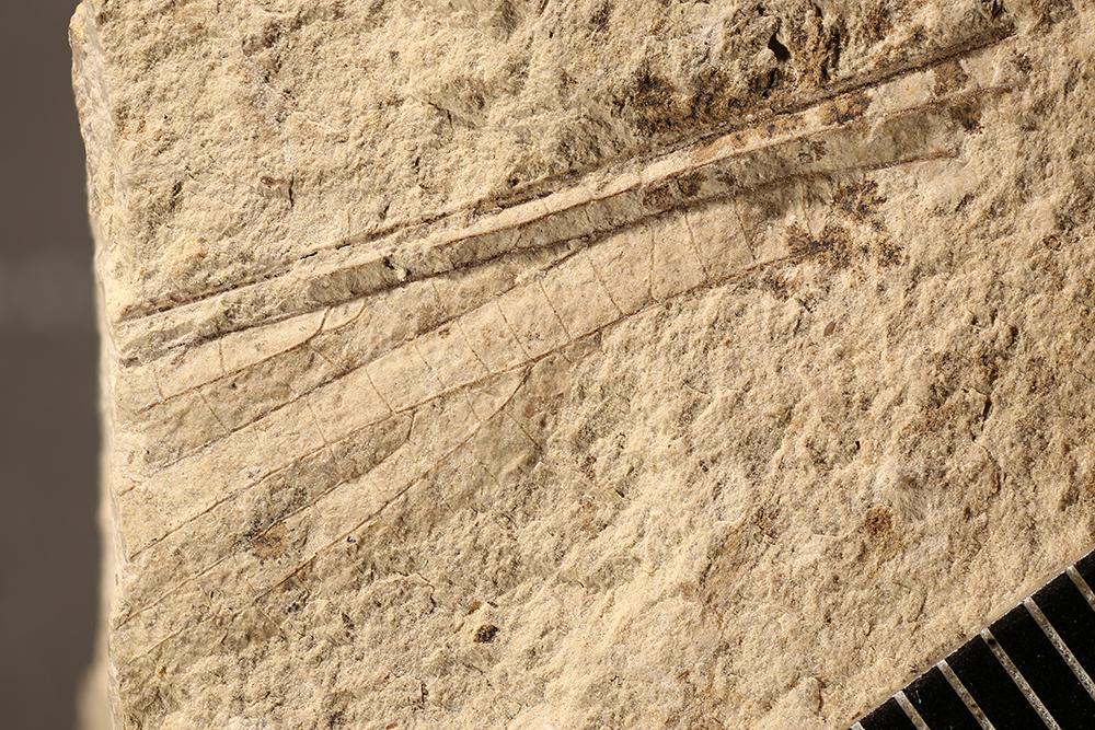 http://mczbase.mcz.harvard.edu/specimen_images/entomology/paleo/large/PALE-12018_Meganisoptera.jpg