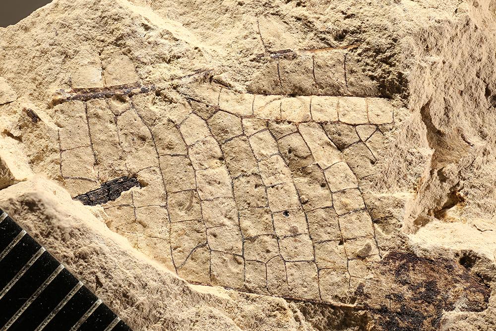 http://mczbase.mcz.harvard.edu/specimen_images/entomology/paleo/large/PALE-12020_Meganisoptera.jpg