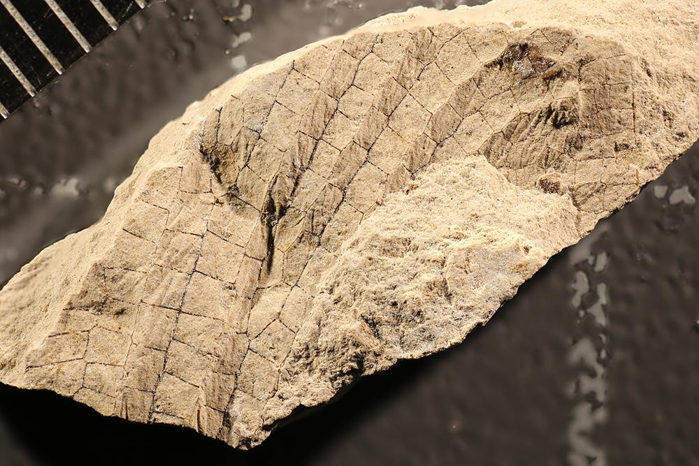 http://mczbase.mcz.harvard.edu/specimen_images/entomology/paleo/large/PALE-12024_Meganisoptera.jpg