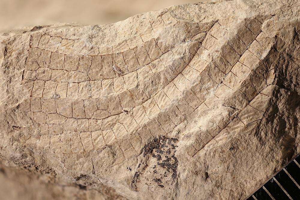 http://mczbase.mcz.harvard.edu/specimen_images/entomology/paleo/large/PALE-12036b_Meganisoptera.jpg