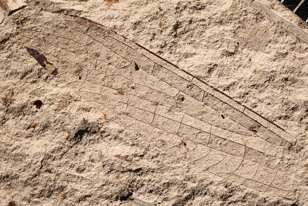 http://mczbase.mcz.harvard.edu/specimen_images/entomology/paleo/large/PALE-12045_Kennedya_mirabilis.jpg
