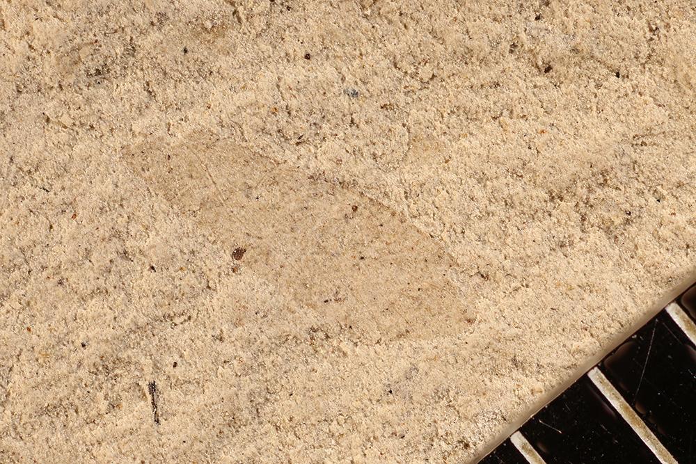 http://mczbase.mcz.harvard.edu/specimen_images/entomology/paleo/large/PALE-12076_Dichentomum_tinctum.jpg