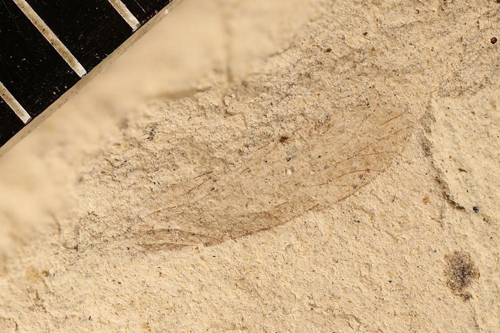 http://mczbase.mcz.harvard.edu/specimen_images/entomology/paleo/large/PALE-12085_Dichentomum_tinctum.jpg