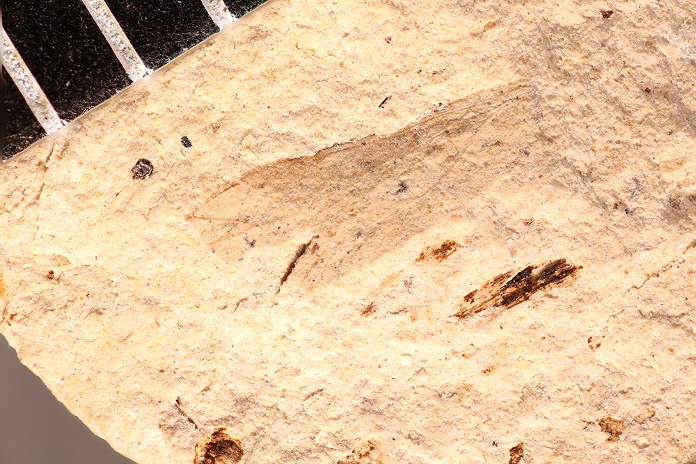 http://mczbase.mcz.harvard.edu/specimen_images/entomology/paleo/large/PALE-12091_Dichentomum_tinctum.jpg
