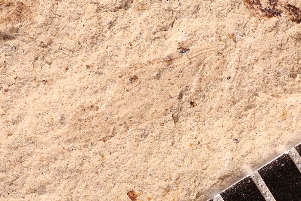 http://mczbase.mcz.harvard.edu/specimen_images/entomology/paleo/large/PALE-12094_Dichentomum_tinctum.jpg