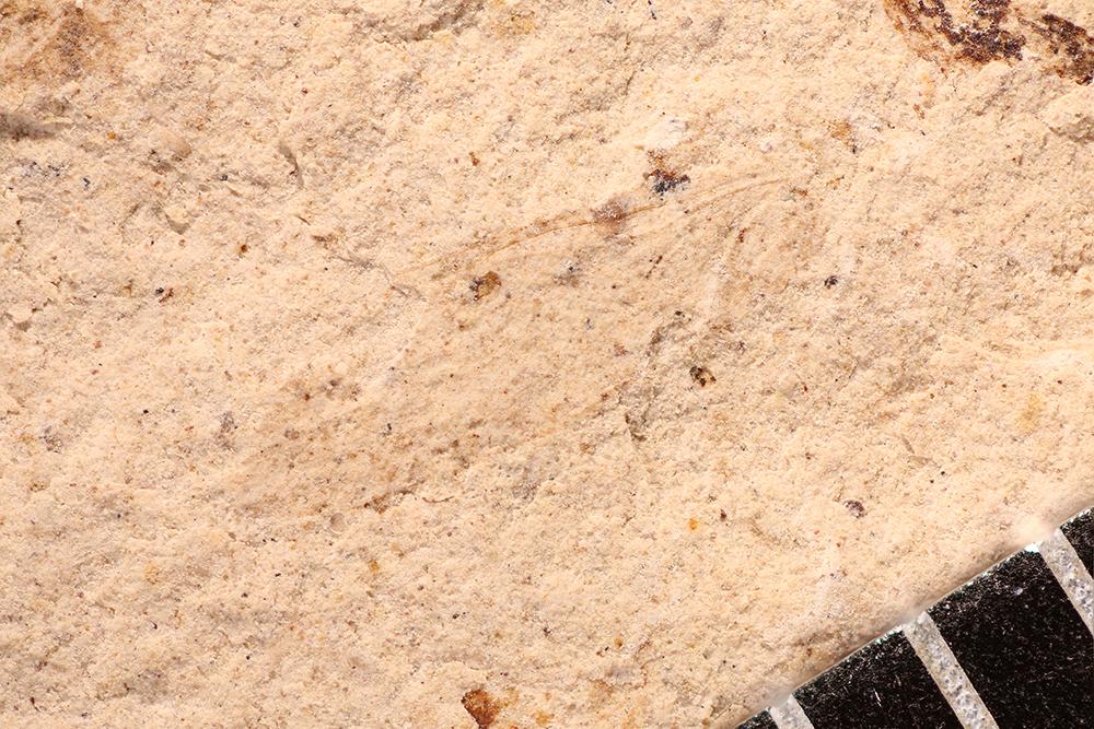 http://mczbase.mcz.harvard.edu/specimen_images/entomology/paleo/large/PALE-12094_Dichentomum_tinctum_2.jpg