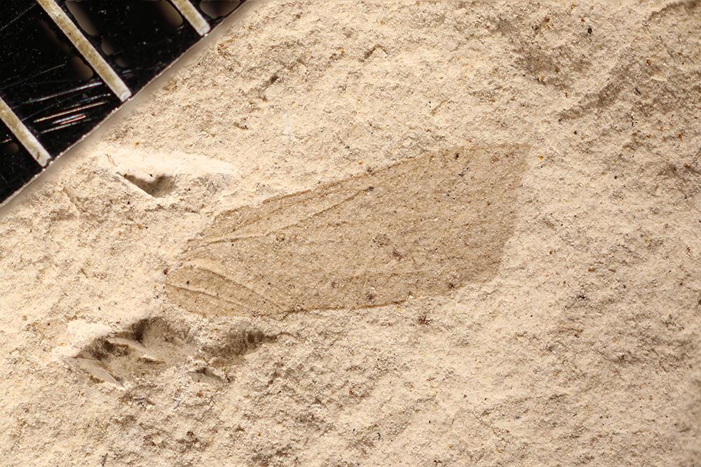 http://mczbase.mcz.harvard.edu/specimen_images/entomology/paleo/large/PALE-12107_Dichentomum_tinctum.jpg
