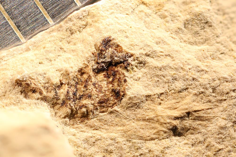 http://mczbase.mcz.harvard.edu/specimen_images/entomology/paleo/large/PALE-12152_Dichentomum_tinctum.jpg