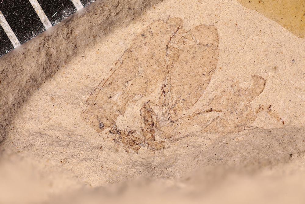 http://mczbase.mcz.harvard.edu/specimen_images/entomology/paleo/large/PALE-12166_Dichentomum_tinctum.jpg