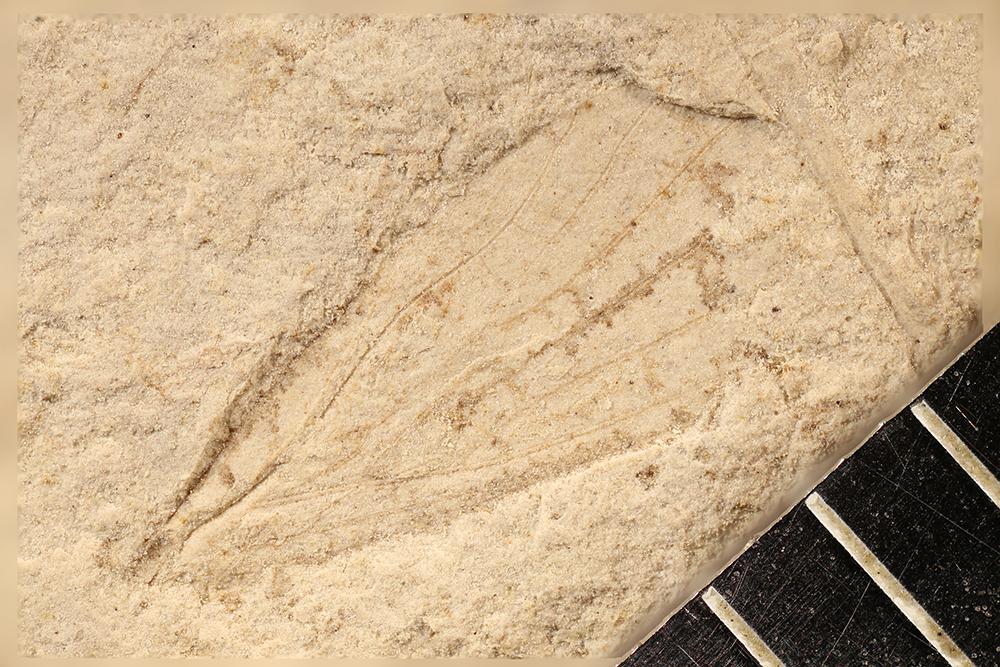 http://mczbase.mcz.harvard.edu/specimen_images/entomology/paleo/large/PALE-12196_Lemmatophoridae.jpg
