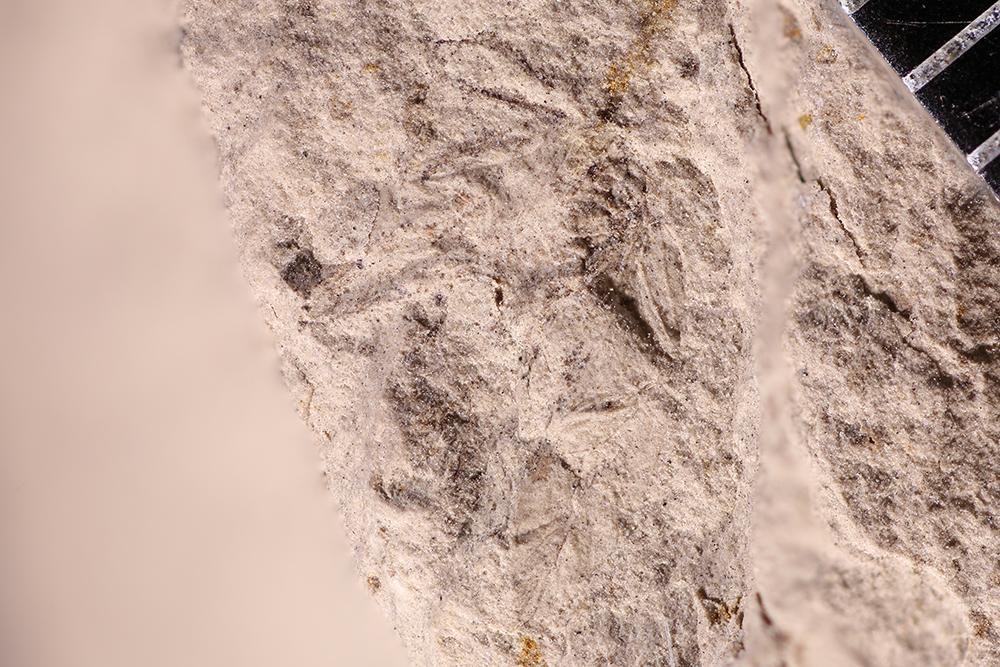 http://mczbase.mcz.harvard.edu/specimen_images/entomology/paleo/large/PALE-12236_Dichentomum_tinctum.jpg