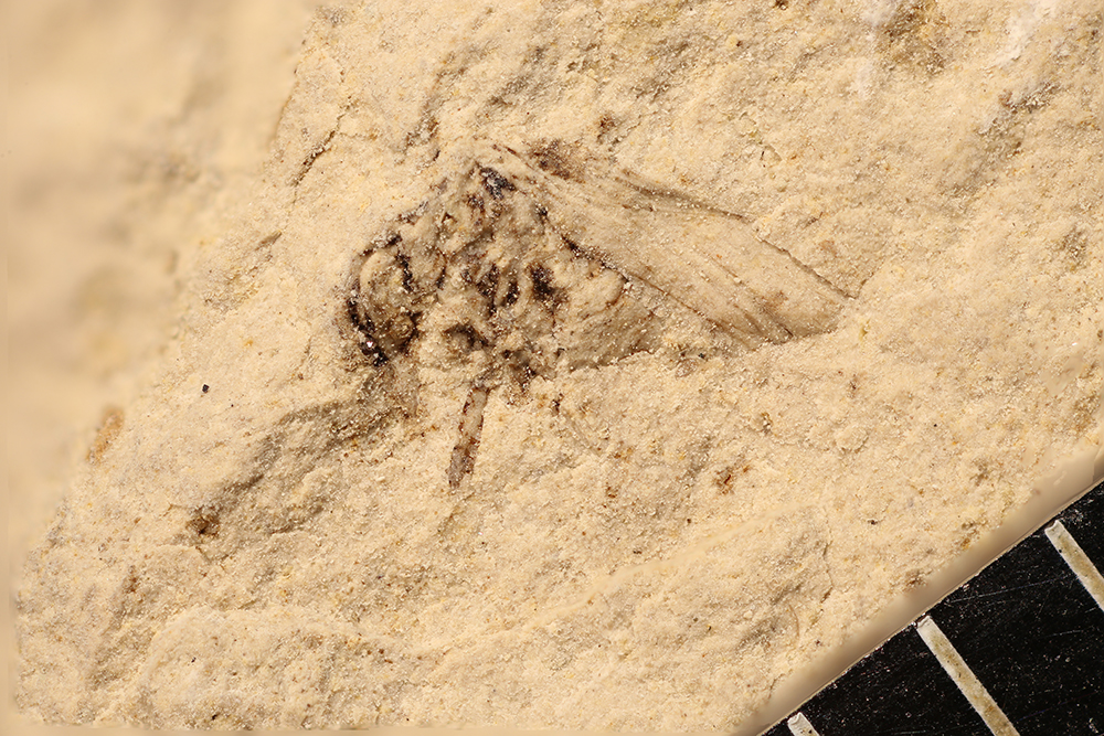 http://mczbase.mcz.harvard.edu/specimen_images/entomology/paleo/large/PALE-12247_Dichentomum_tinctum.jpg